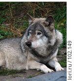 """Купить «""""Серый""""волк», фото № 102149, снято 18 ноября 2018 г. (c) Алембатров Алексей / Фотобанк Лори"""