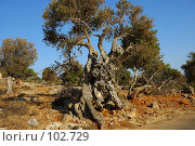 Купить «Старое оливковое дерево», фото № 102729, снято 23 мая 2018 г. (c) Знаменский Олег / Фотобанк Лори