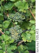 Купить «Виноградная лоза», фото № 105413, снято 19 сентября 2007 г. (c) Алена Сафронова / Фотобанк Лори