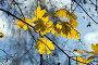 Желтые кленовые листья на фоне неба, фото № 105429, снято 20 октября 2007 г. (c) Argument / Фотобанк Лори