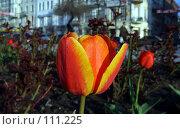 Купить «Тюльпан на улице», фото № 111225, снято 18 октября 2006 г. (c) Арестов Андрей Павлович / Фотобанк Лори