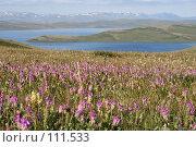 Купить «Тува: Высокогорные цветы», фото № 111533, снято 29 июля 2006 г. (c) Александр Гершензон / Фотобанк Лори