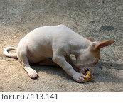 Маленький щенок ест банан. Стоковое фото, фотограф Колчева Ольга / Фотобанк Лори