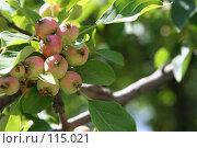 Купить «Яблоки», фото № 115021, снято 23 июля 2007 г. (c) Т.Кожевникова / Фотобанк Лори