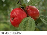 Яблоко двойное. Стоковое фото, фотограф Чумилин Леонид Александрович / Фотобанк Лори