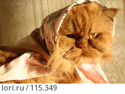 Купить «Кот в платке», фото № 115349, снято 19 августа 2005 г. (c) Останина Екатерина / Фотобанк Лори