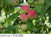 Купить «Дикие яблоки», фото № 116085, снято 3 августа 2007 г. (c) Т.Кожевникова / Фотобанк Лори