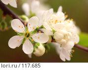 Купить «Цветущая ветка яблони», фото № 117685, снято 19 мая 2007 г. (c) Алексей Баринов / Фотобанк Лори