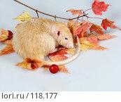 Купить «Крыса Дамбо Рекс дремлет на ветке клена», фото № 118177, снято 23 сентября 2007 г. (c) Иван / Фотобанк Лори