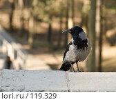 Купить «Ворона обыкновенная», фото № 119329, снято 25 апреля 2005 г. (c) Игорь Соколов / Фотобанк Лори