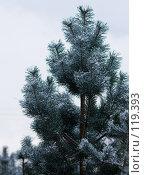 Купить «Сосна под снегом», фото № 119393, снято 16 ноября 2007 г. (c) Argument / Фотобанк Лори