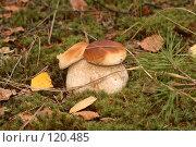 Купить «Боровик двуглавый», фото № 120485, снято 29 сентября 2007 г. (c) Марюнин Юрий / Фотобанк Лори