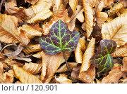 Купить «Осенний плющ», фото № 120901, снято 26 ноября 2006 г. (c) Сергей Старуш / Фотобанк Лори