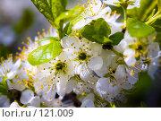 Купить «Белые цветы», фото № 121009, снято 9 мая 2007 г. (c) Coler / Фотобанк Лори