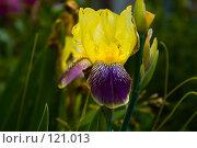 Купить «Ирис», фото № 121013, снято 12 июня 2007 г. (c) Coler / Фотобанк Лори