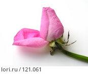 Купить «Бутон розовой розы», фото № 121061, снято 22 апреля 2018 г. (c) Светлана Кучинская / Фотобанк Лори