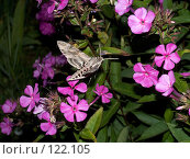 Купить «Бражник вьюнковый (Agrius convolvuli Linnaeus, 1758)», фото № 122105, снято 5 августа 2007 г. (c) Вячеслав Потапов / Фотобанк Лори