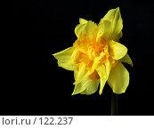 Купить «Желтый нарцисс на темном фоне», фото № 122237, снято 21 апреля 2018 г. (c) Светлана Кучинская / Фотобанк Лори