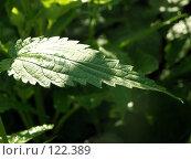 Купить «Лист крапивы», фото № 122389, снято 30 июня 2007 г. (c) Бяков Вячеслав / Фотобанк Лори