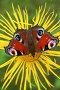Бабочка на цветке девясила, фото № 123961, снято 7 августа 2006 г. (c) Николай Коржов / Фотобанк Лори