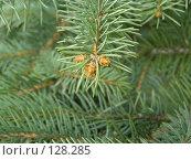 Купить «Ветка хвойного дерева», фото № 128285, снято 29 апреля 2007 г. (c) Юрий Борисенко / Фотобанк Лори