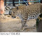 Купить «Персидский леопард», фото № 134453, снято 10 октября 2004 г. (c) Serg Zastavkin / Фотобанк Лори