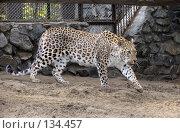 Купить «Персидский леопард», фото № 134457, снято 10 октября 2004 г. (c) Serg Zastavkin / Фотобанк Лори