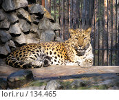 Купить «Леопард», фото № 134465, снято 10 октября 2004 г. (c) Serg Zastavkin / Фотобанк Лори
