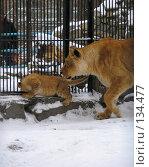 Купить «Львенок и львица», фото № 134477, снято 7 ноября 2004 г. (c) Serg Zastavkin / Фотобанк Лори