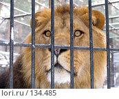 Купить «Африканский лев», фото № 134485, снято 7 ноября 2004 г. (c) Serg Zastavkin / Фотобанк Лори
