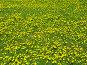 Одуванчики, фото № 134877, снято 20 мая 2005 г. (c) Serg Zastavkin / Фотобанк Лори