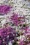 Цветы флокса шиловидного, фото № 135077, снято 8 июня 2006 г. (c) Serg Zastavkin / Фотобанк Лори