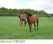 Купить «Молодые кобылы пасутся», фото № 135521, снято 22 мая 2006 г. (c) Анастасия Некрасова / Фотобанк Лори