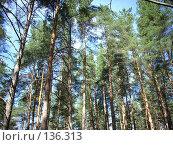 Купить «Карельский Перешеек. Сосны.», фото № 136313, снято 5 августа 2007 г. (c) Сергей Тундра / Фотобанк Лори