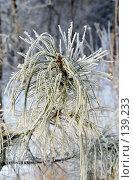 Купить «Сосновая ветка,покрытая инеем», фото № 139233, снято 5 декабря 2007 г. (c) Круглов Олег / Фотобанк Лори
