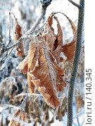 Купить «Замёрзшие дубовые листья,покрытые инеем», фото № 140345, снято 5 декабря 2007 г. (c) Круглов Олег / Фотобанк Лори