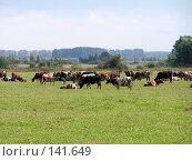 Купить «Коровы пасутся на лугу», фото № 141649, снято 26 августа 2006 г. (c) Михаил Мозжухин / Фотобанк Лори