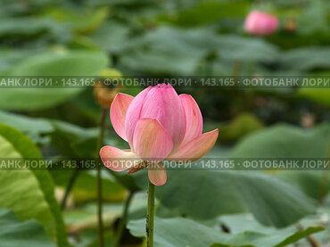 Купить «Розовый лотос, приморский эндемик», фото № 143165, снято 4 августа 2007 г. (c) Олег Рубик / Фотобанк Лори