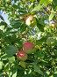 Яблоня освещенная солнцем, фото № 146045, снято 8 августа 2007 г. (c) Ольга Шилина / Фотобанк Лори