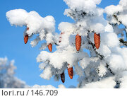 Купить «Шишки на заснеженной ели», фото № 146709, снято 28 мая 2020 г. (c) Михаил Коханчиков / Фотобанк Лори