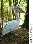 Купить «Пеликан», фото № 149077, снято 6 сентября 2007 г. (c) Максим Яковлев / Фотобанк Лори