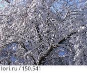 Купить «Переплетенные ветви дерева в снегу», фото № 150541, снято 17 февраля 2007 г. (c) Дмитрий Никитин / Фотобанк Лори