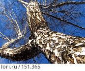 Купить «Разветвляющаяся береза», фото № 151365, снято 8 апреля 2007 г. (c) Бяков Вячеслав / Фотобанк Лори