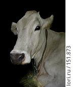 Купить «Корова швицкой породы», фото № 151873, снято 7 октября 2005 г. (c) Анастасия Некрасова / Фотобанк Лори