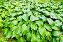 Растительный фон, листья хосты, фото № 152001, снято 25 августа 2007 г. (c) chaoss / Фотобанк Лори