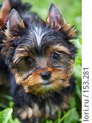 Купить «Щенок йоркширского терьера в траве», фото № 153281, снято 31 июля 2007 г. (c) Ирина Мойсеева / Фотобанк Лори
