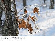 Купить «Изморозь на берёзовых листьях», фото № 153501, снято 5 декабря 2007 г. (c) Круглов Олег / Фотобанк Лори