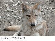 Купить «Волк», фото № 153769, снято 23 сентября 2007 г. (c) Иван Мацкевич / Фотобанк Лори