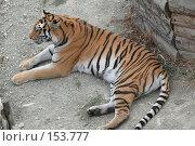 Купить «Отдыхающий тигр у деревянной стены», фото № 153777, снято 23 сентября 2007 г. (c) Иван Мацкевич / Фотобанк Лори