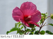 Купить «Домашний цветок», фото № 153837, снято 15 сентября 2007 г. (c) Иван Мацкевич / Фотобанк Лори